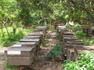 Mật ong nhà có thể được cho ăn đường vào mùa mưa khi không đi kiếm ăn được để chúng không bị đói